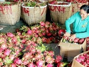 Vietnamese dragon fruit exported to 40 markets