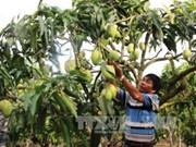 Son La mangoes irradiated for export to Australia