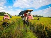 Winter-spring crop yields over 19 million tonnes of rice