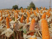 Hybrid corn seeds dominate fields in Vietnam