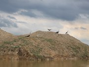Rare birds, tourists flock to Tram Chim Park