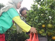 Indonesian gov't provides 5.5 trillion Rp for local fruit development