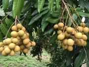 Son La province to export longan to US
