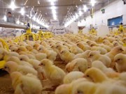 Poultry firm imports top-notch chickens