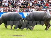Do Son buffalo festival should be protected: experts