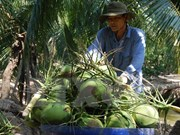 Coconut farming remains languishing