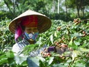 Son La coffee geographical indication announced