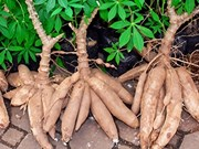 Thailand supports cassava farmers