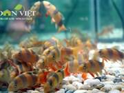 Ho Chi Minh City boosts ornamental fish exports