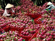 Long An aims to up dragon fruit exports
