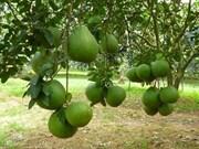 Ben Tre ponders pomelos, rambutans
