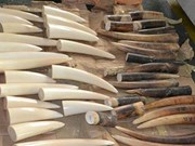 Noi Bai airport customs officers uncover ivory tusk product transport
