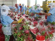 Binh Thuan set to grow 9,800 ha of VietGAP dragon fruits in 2018