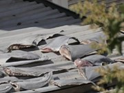 Investigation to be held on report of shark fins case in Chile