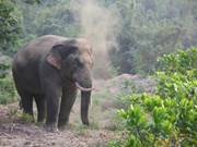Additional 20km of elephant protection fence in Dong Nai proposed