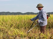 Government provides rice for Nghe An's farmers