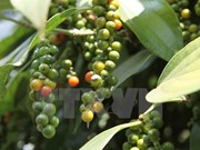 Phu Quoc island district targets 1,200 tonnes of pepper in 2018