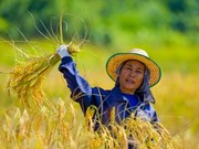 Thai government advises farmers not to raise rice production