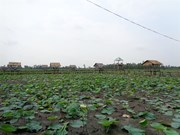 Lotus farm-tourism model faces market hurdles in Mekong