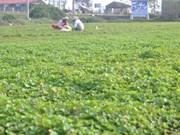 Gotu Kola plant earns Hue farmers a decent life