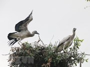 Asian openbill storks flock to Gao Giong cajuput forest in Dong Thap