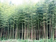 Dong Thap works to preserve Vietnamese bamboo species
