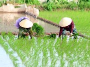 Central provinces target 2.5 million tonnes of rice in upcoming crops