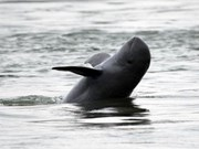 River dolphins in Cambodia likely to escape from extinction