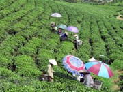 Low quality, lack of brand names remain biggest barriers to tea exports