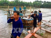 Tien Giang province breeds more tra fish on alluvial areas