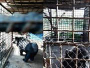 Can Tho reports no bears in captivity