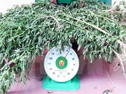 Quang Ninh police discover illegal marijuana grower