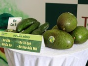 Activities to promote Dak Nong's specialty avocados