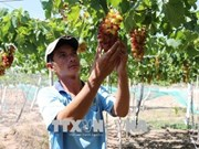 Ninh Thuan to grow more new, high-quality grape