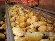 Vietnam imports 60 percent of potatoes for processing