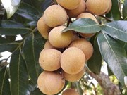 First Son La longan week underway in Hanoi