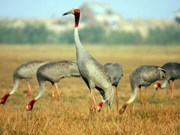 Only 11 sarus cranes spotted at Tram Chim National Park
