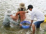 Tra Vinh takes measures to protect shrimps from disease