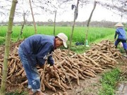 Vietnam exports less, but earns more from cassava