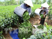Vietnam's tea exports fall in both volume and revenue
