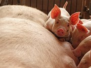 FAO convenes emergency meeting to prevent spread of swine fever