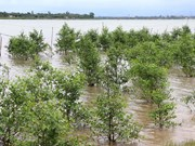 Quang Tri develops mangrove forests