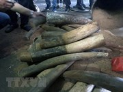 Nearly 1 tonne of elephant tusks, pangolin scales uncovered in Hanoi