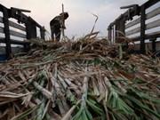 Thailand's sugar, sugarcane output forecast to fall