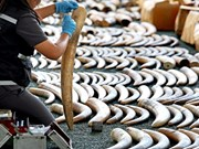 Thailand removed from CITES' ivory watch list