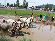 Ox racing festival in An Giang kicks off