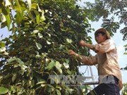 Pepper in many Dong Nai areas reaches organic standards