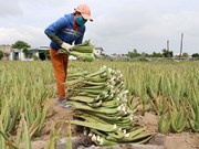 Ninh Thuan farmers strike it rich with aloe vera