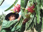 Tien Giang province develops fruit growing areas