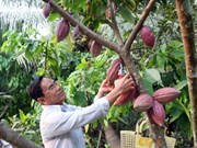 Farmers earn high profits from organic cocoa cultivation